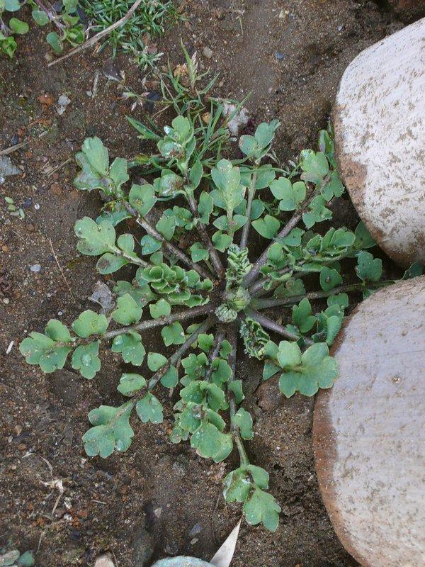 ナガミヒナゲシ 幼生期ロゼットの葉