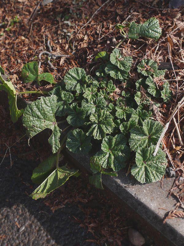 ゼニアオイ 幼生期の葉