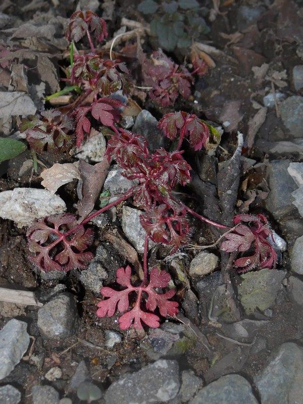ヒメフウロ 幼生期の葉