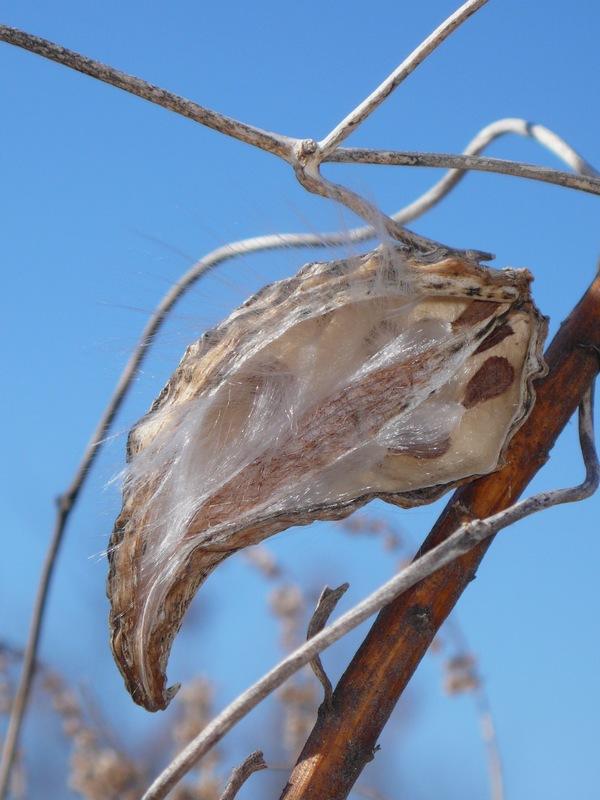 ガガイモ 裂開した果実の中・種子の様子
