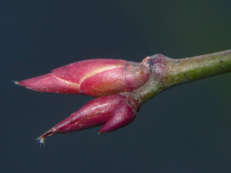 モミジイチゴ 冬芽の拡大