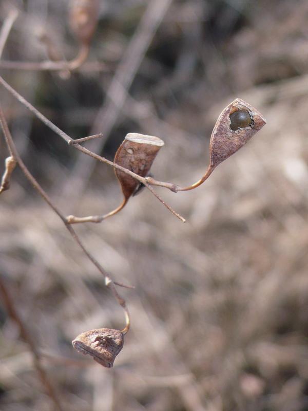 クサネム 越冬後の果実