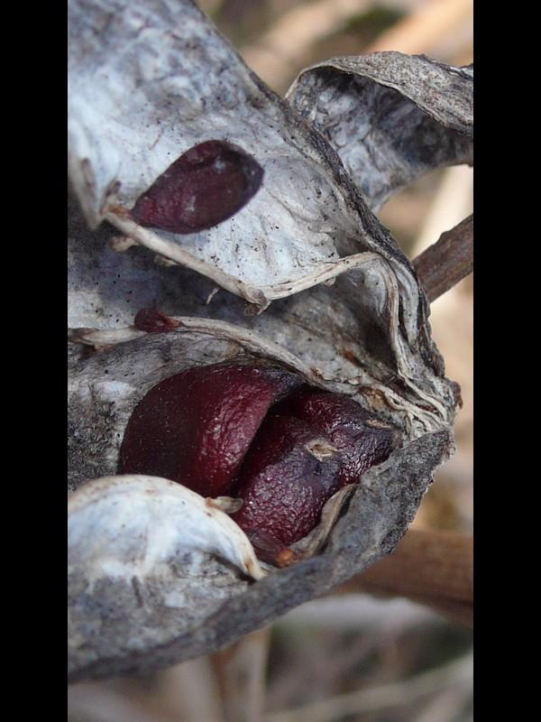 キショウブ 種子