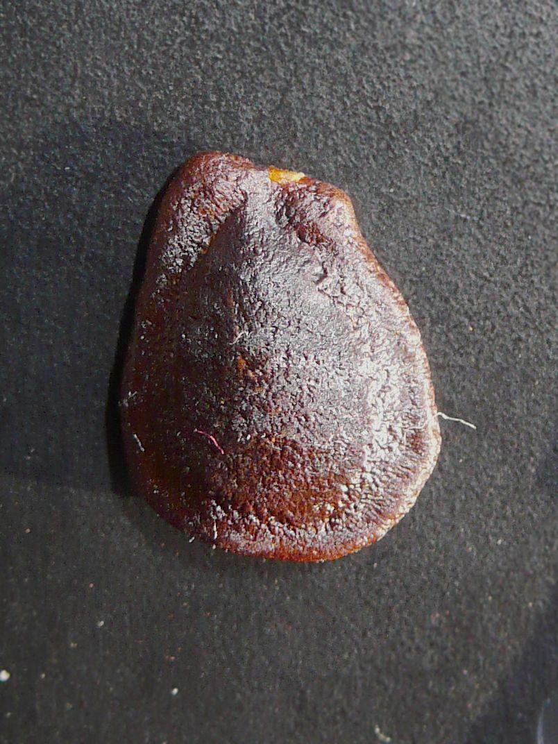 キカラスウリ 種子表