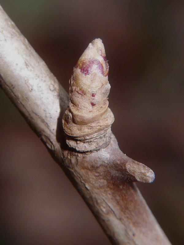 オカウコギ 冬芽の拡大