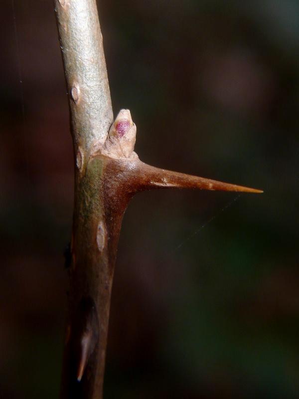 オカウコギ 冬芽と棘