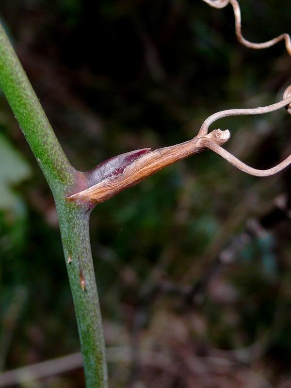 サルトリイバラ 冬芽