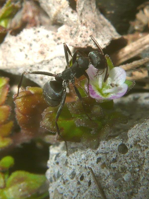 イヌノフグリ 花とアリ