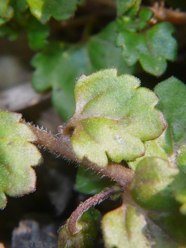 イヌノフグリ 葉