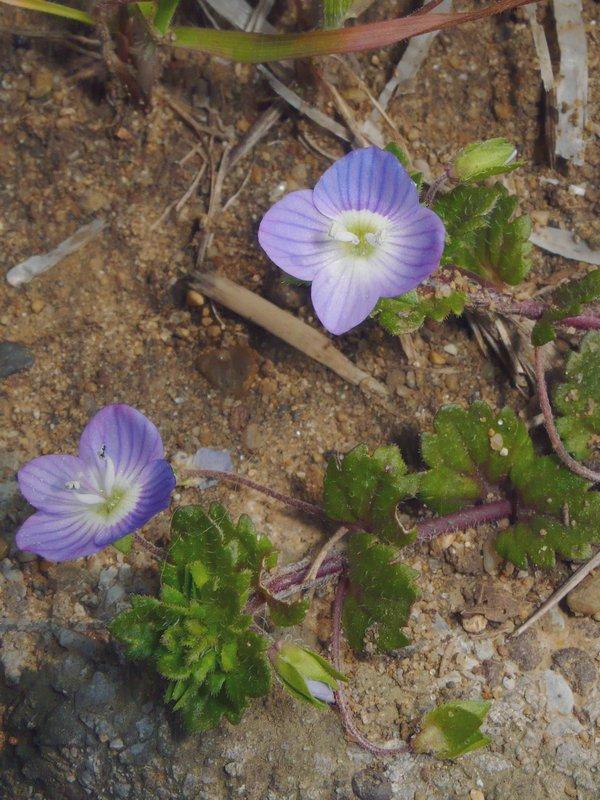 オオイヌノフグリ 花