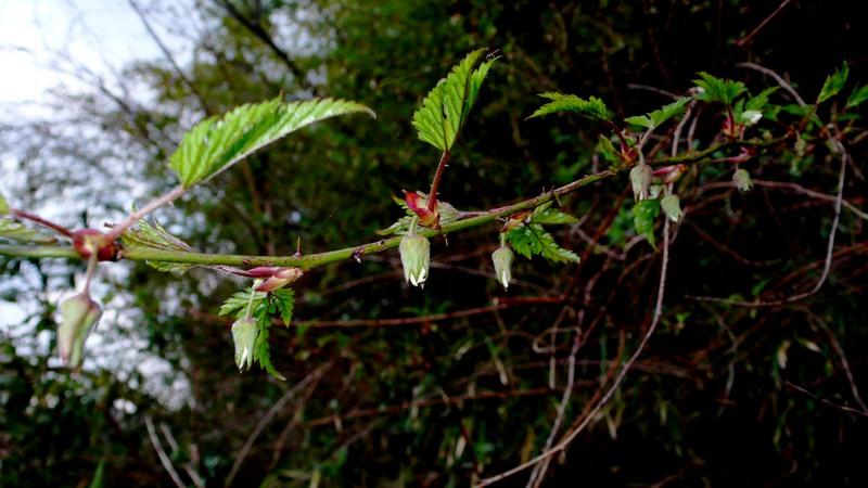 モミジイチゴ 開花前の枝