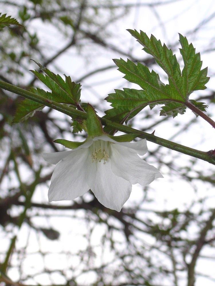 モミジイチゴ 花の拡大
