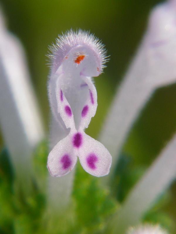 ホトケノザ(シロバナホトケノザ寄り) 花の拡大