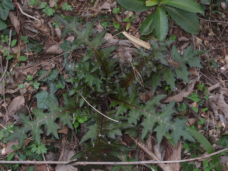 トネアザミ 幼生期根生葉