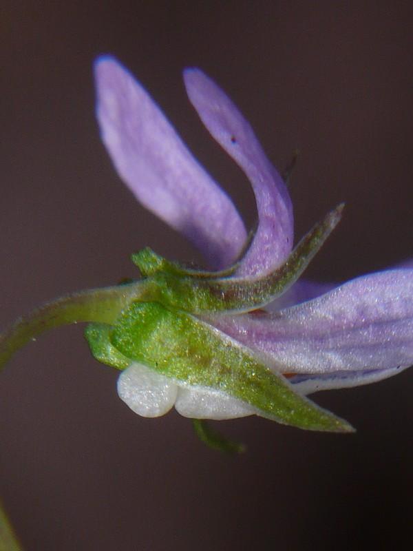 タチツボスミレ 細弁 萼と変わった距