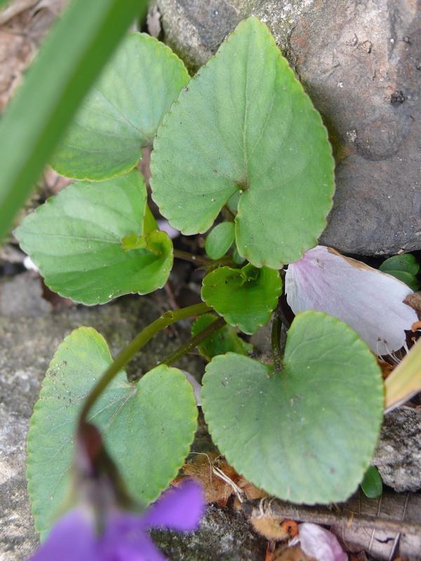 ビオラ・ソロリア 葉