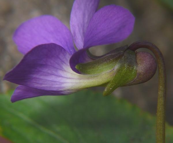 ビオラ・ソロリア 花の距