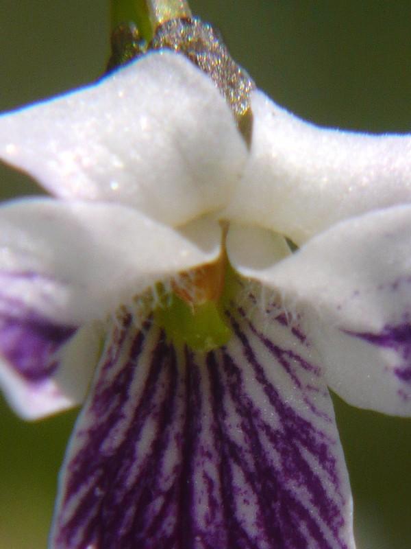 ツボスミレ 花の側弁内側・柱頭の様子