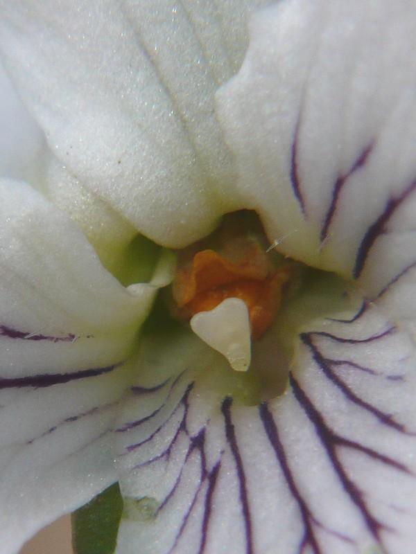 マルバスミレ 花の中央