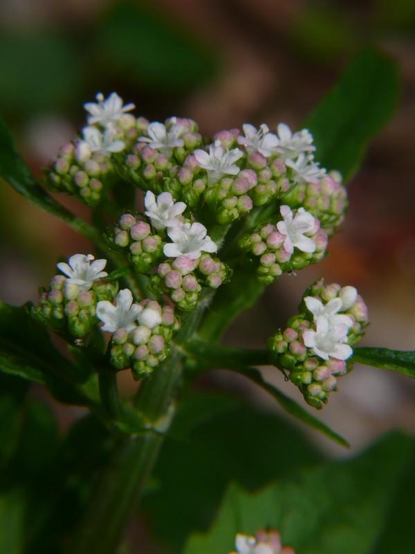 ツルカノコソウ 花