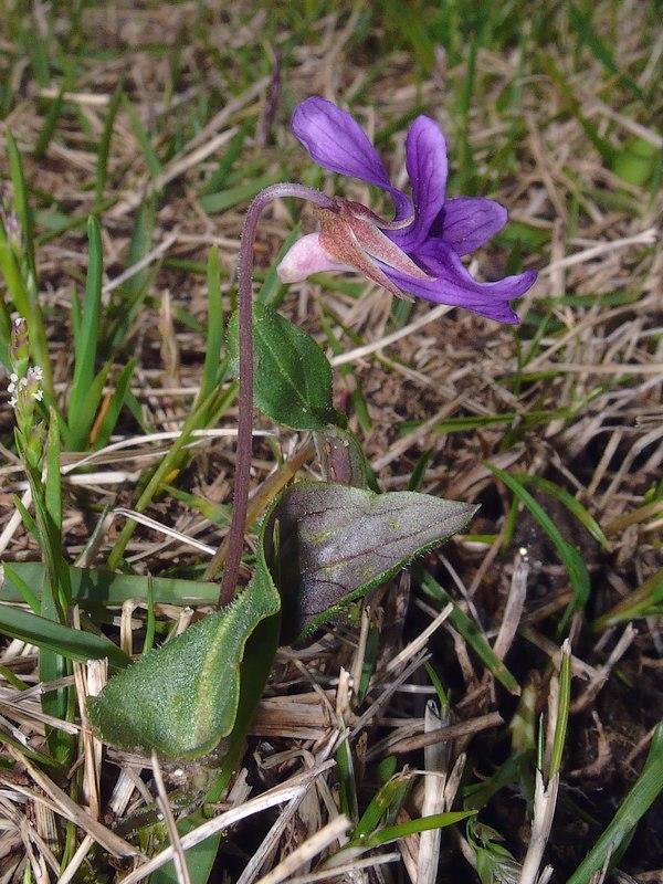 ヒメスミレ 全景横顔:花茎