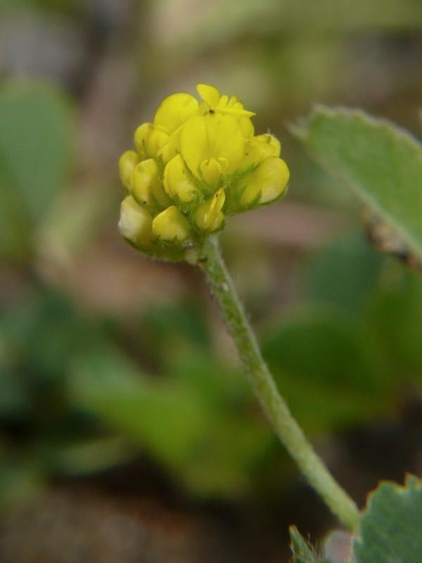 コメツブウマゴヤシ 花