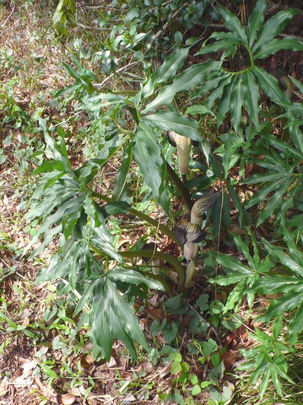 ウラシマソウ 全景と葉