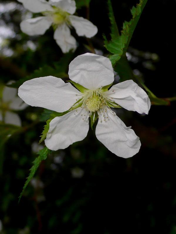 トゲナシイチゴ 花