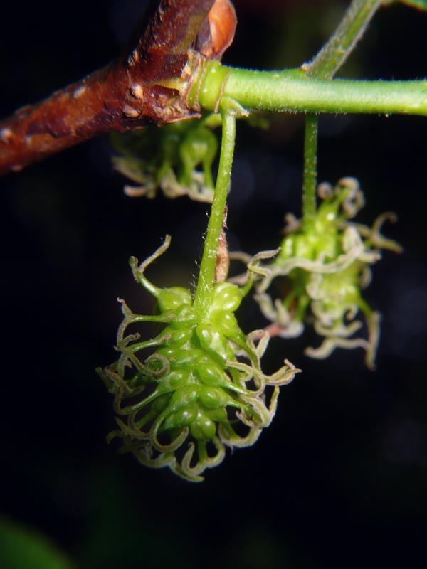 ヤマグワ 雌花花序