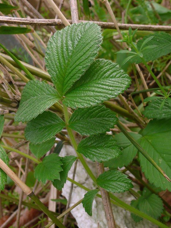 キジムシロ 下部の葉