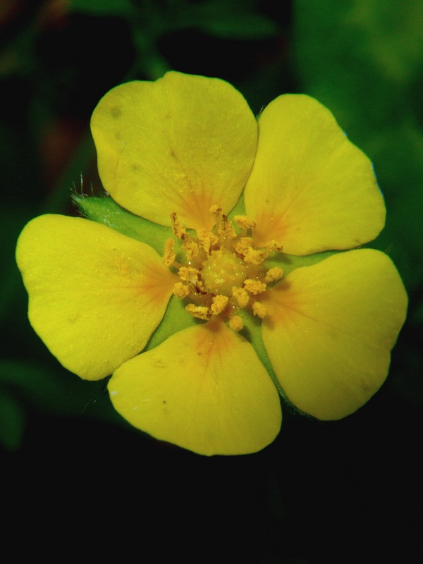 キジムシロ 花