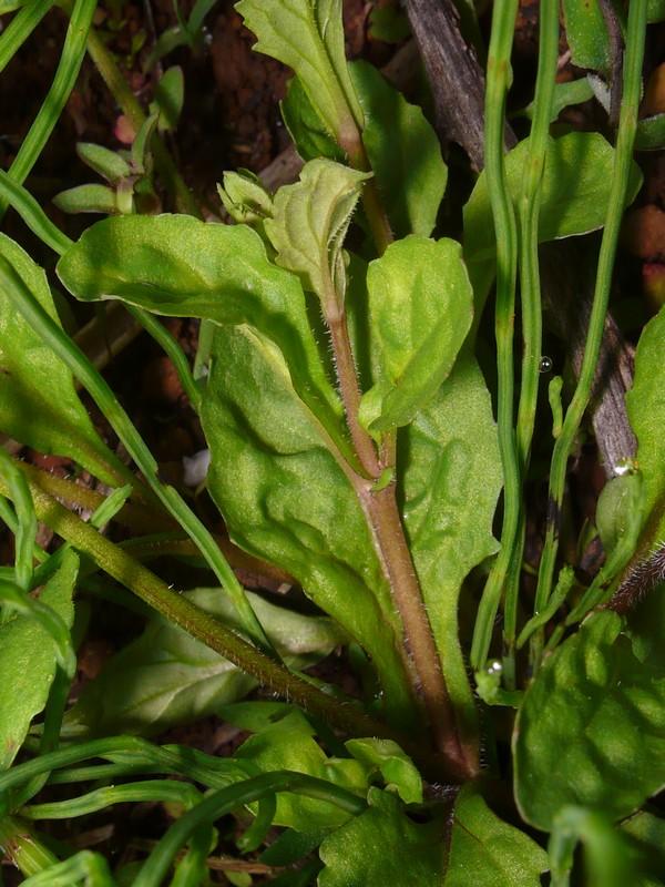 トキワハゼ 茎と葉