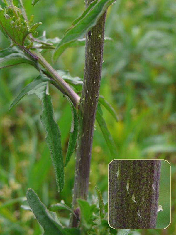 カキネガラシ 茎の妙な毛