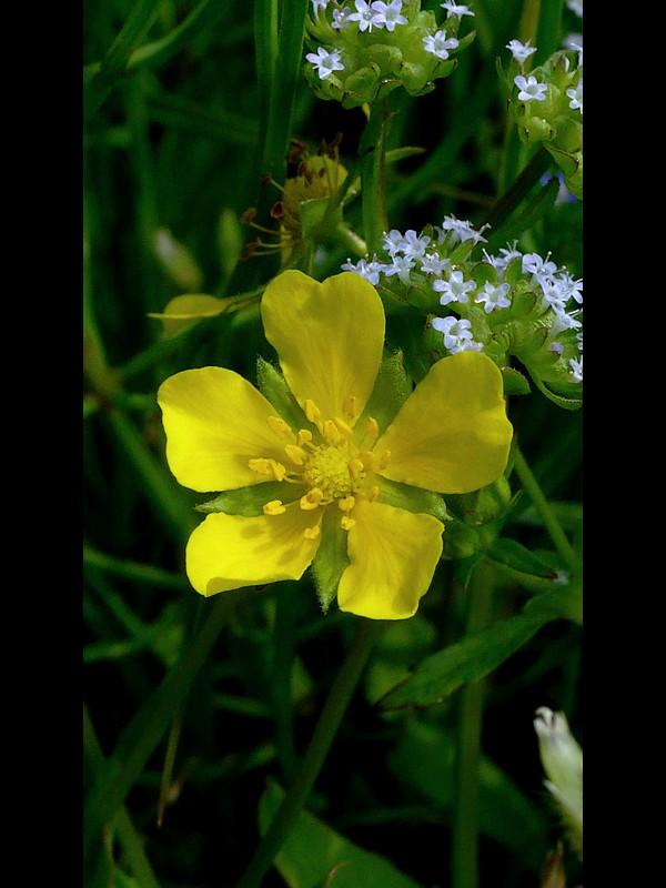 オヘビイチゴ 花