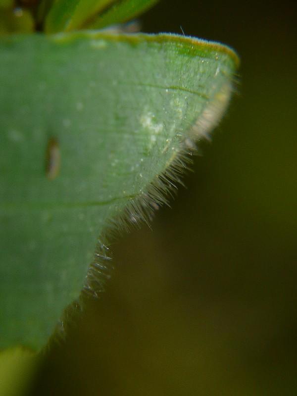 ムギクサ 葉の表面の毛