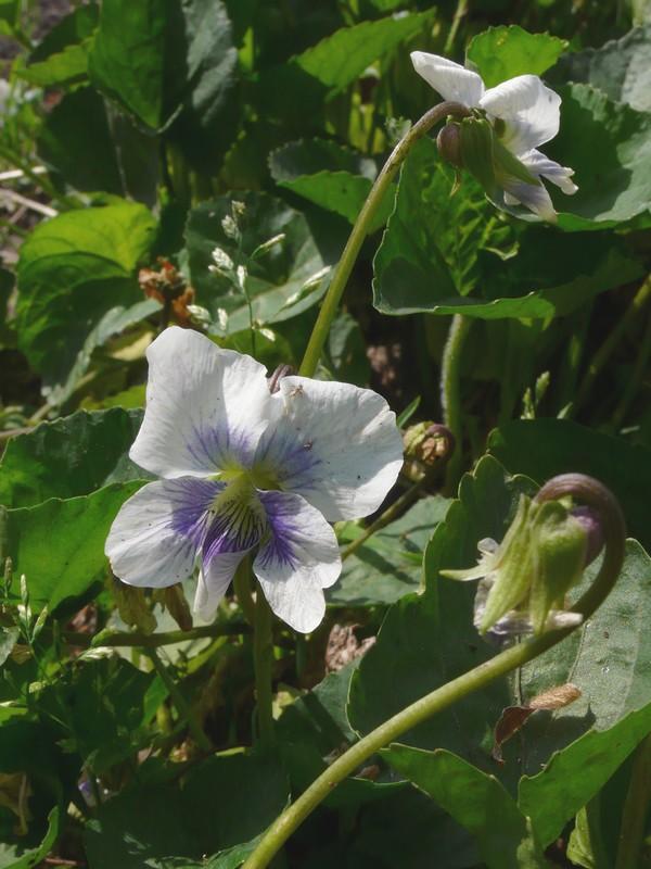 ビオラ・ソロリア プリケアナ 花