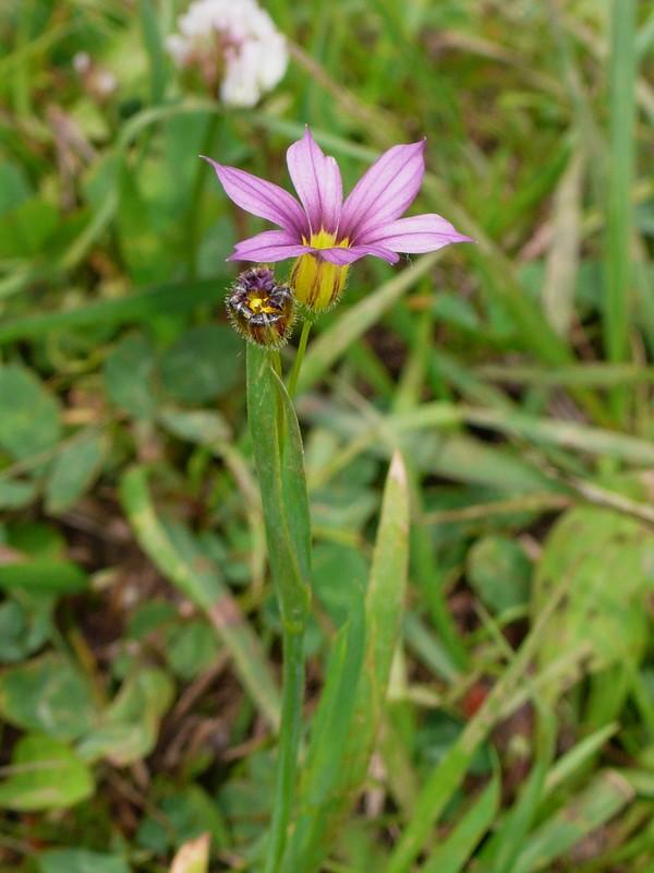 ニワゼキショウ 赤紫タイプの花