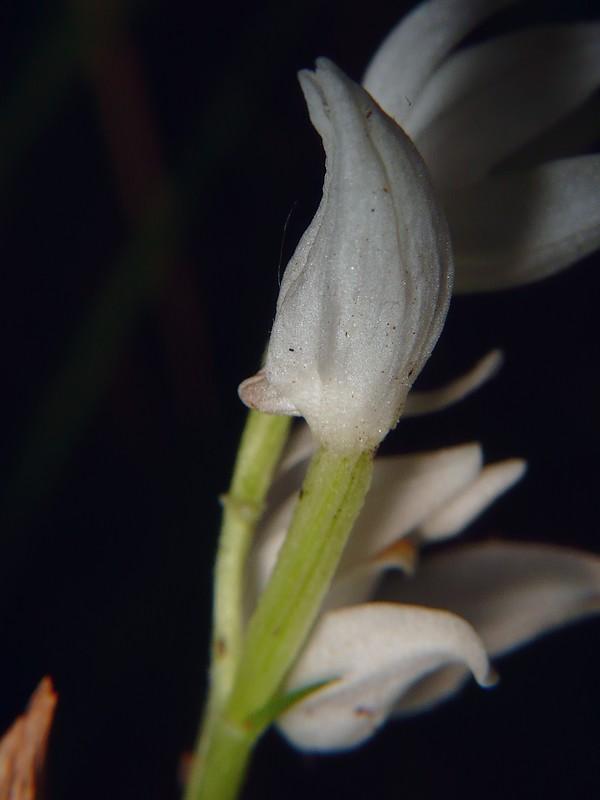 ササバギンラン 閉じている花