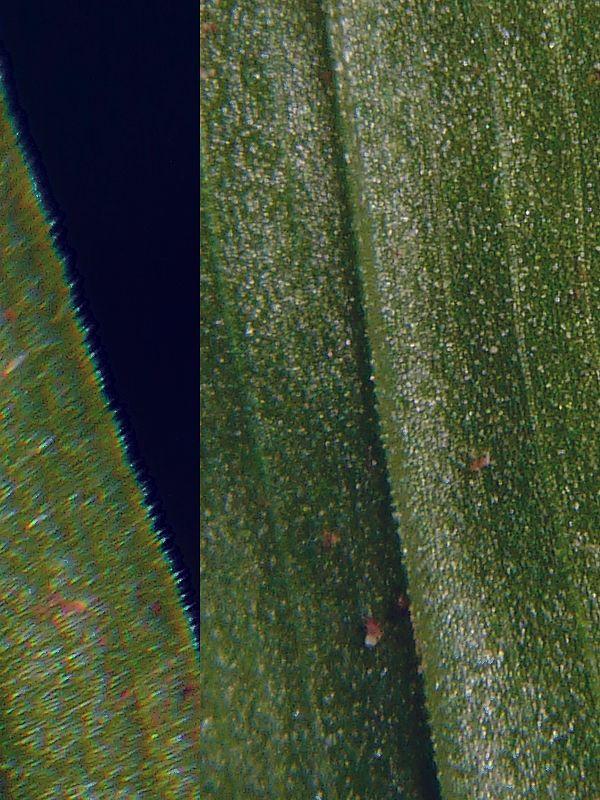 ササバギンラン 葉縁と葉裏の突起