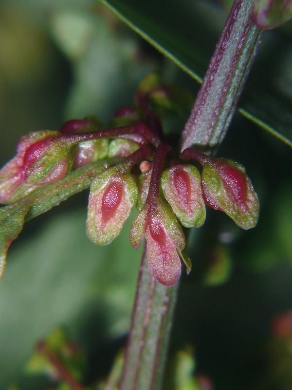 アレチギシギシ 若い果実