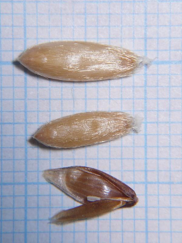 カラスムギ 大型小花の中の種子と中央にある小花の中身