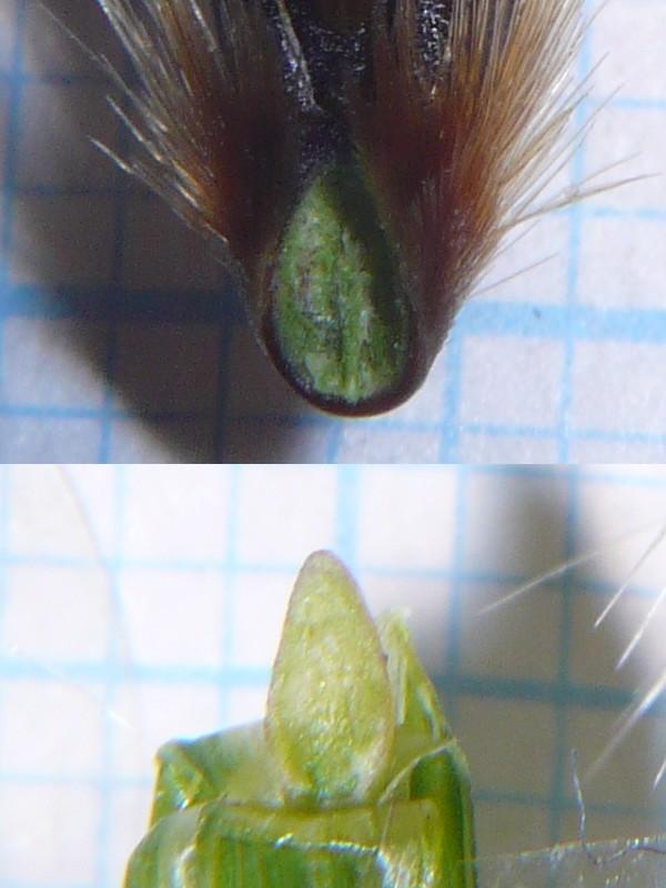 カラスムギ 最下の小花の柄部分