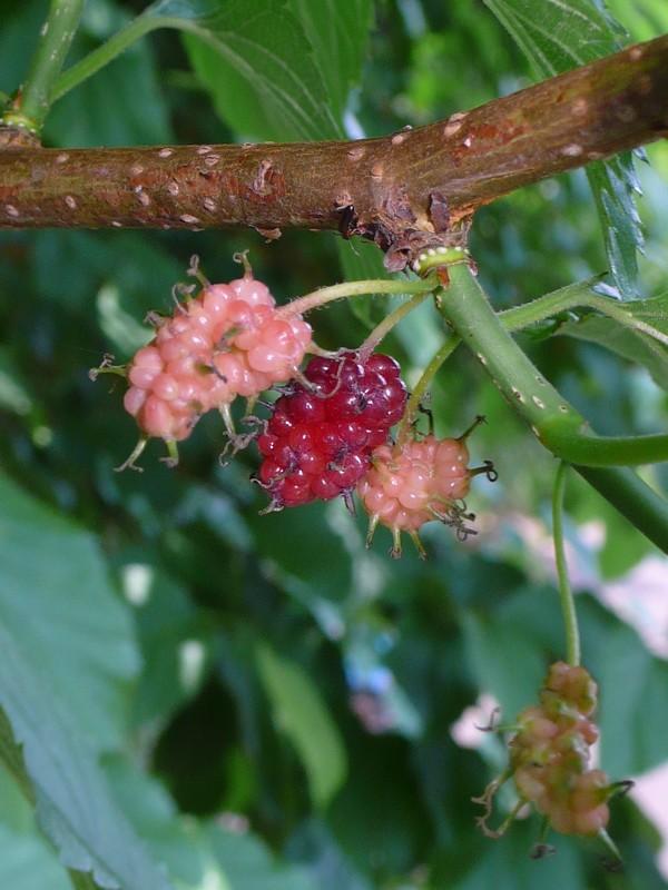 ヤマグワ 熟し始めた果実