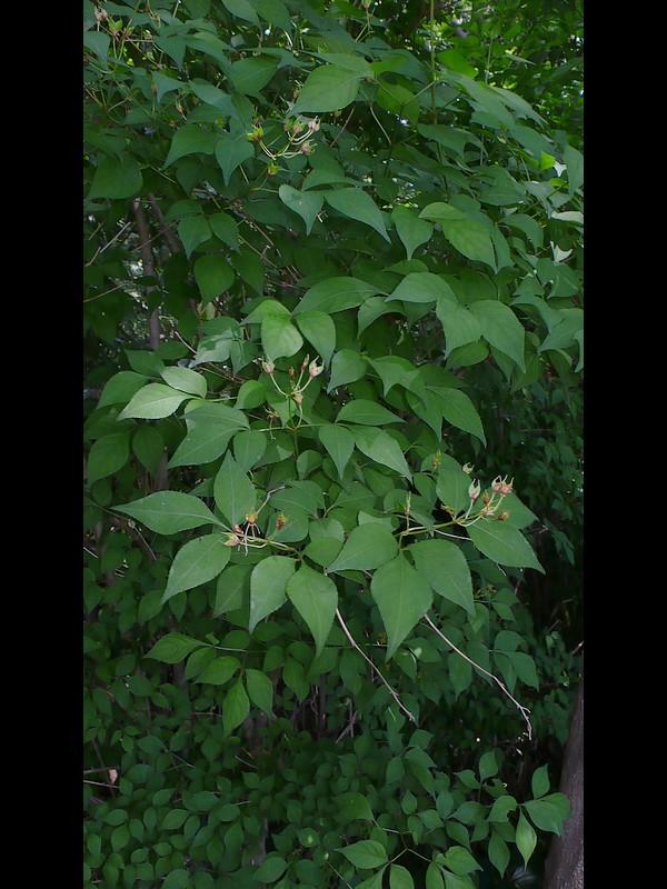 ミツバウツギ 若い果実期全景