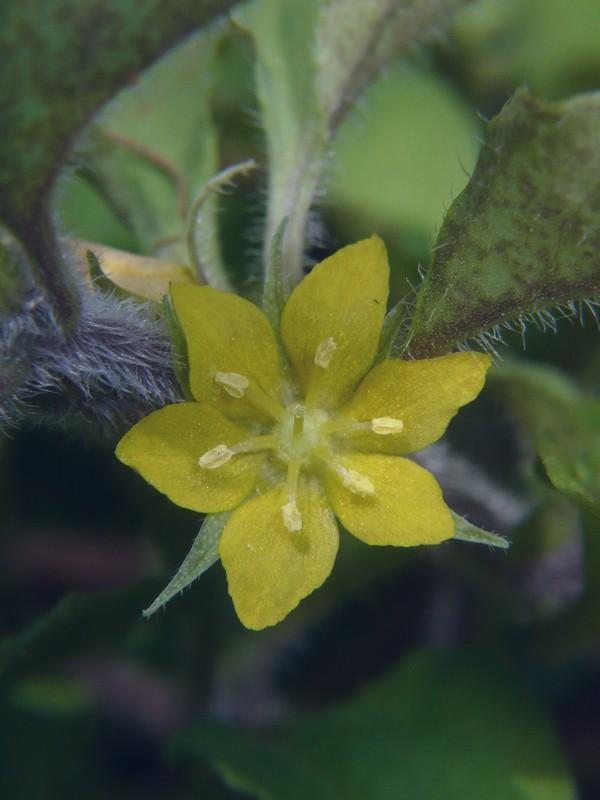 コナスビ 6裂花