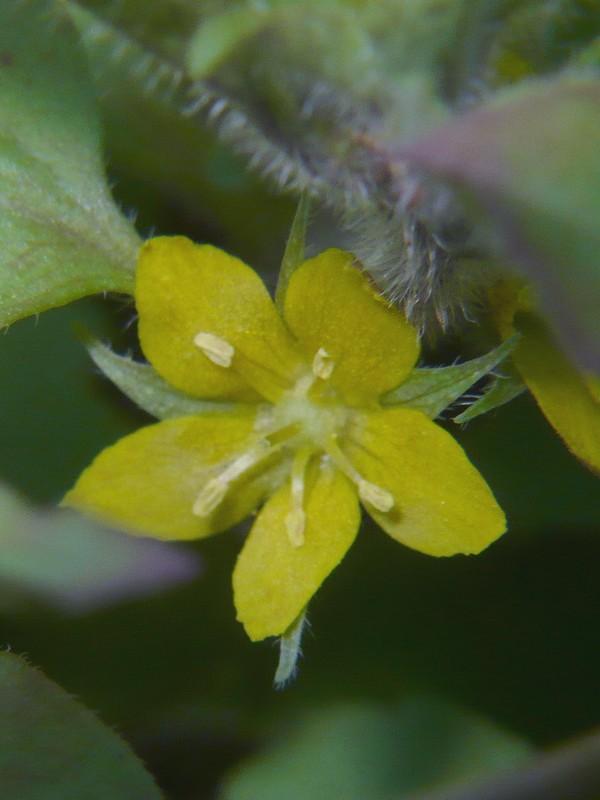 コナスビ 花