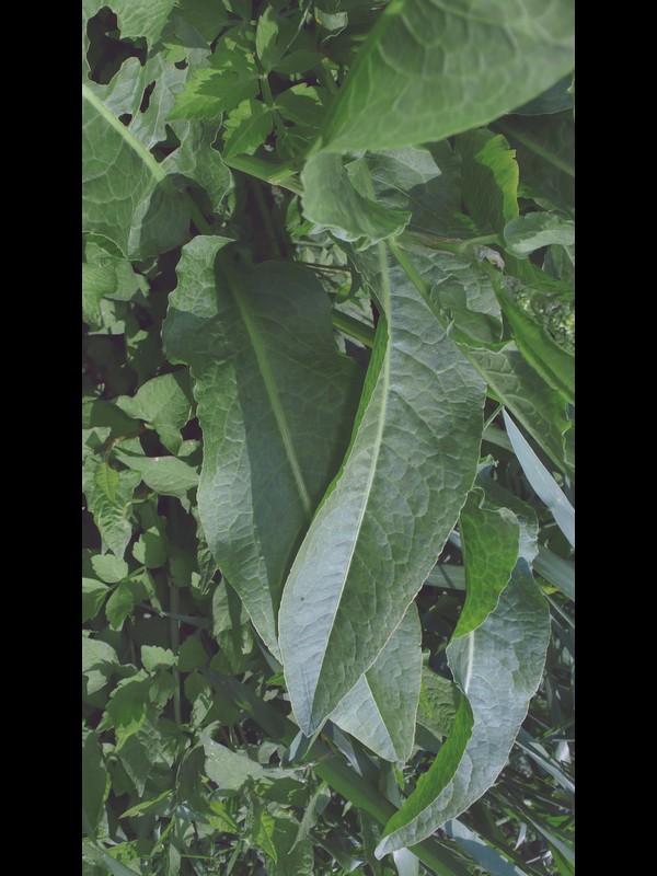 ギシギシ 葉