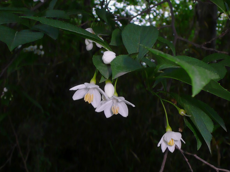 エゴノキ 花