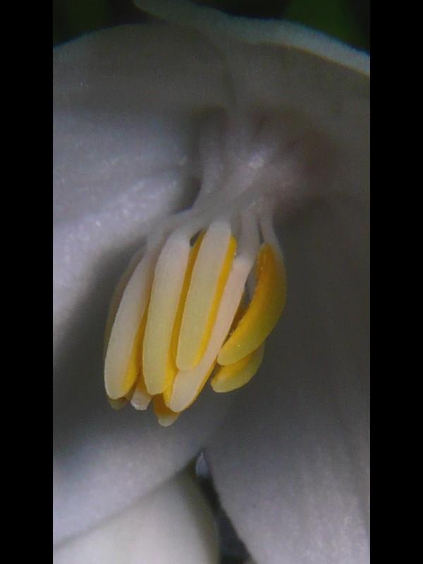 エゴノキ 花のオシベ