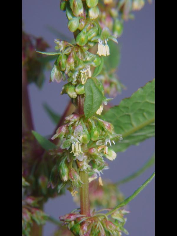 エゾノギシギシ 花序